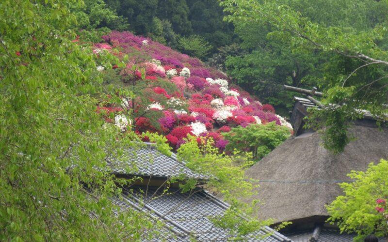 사라야마 석남화 철쭉꽃