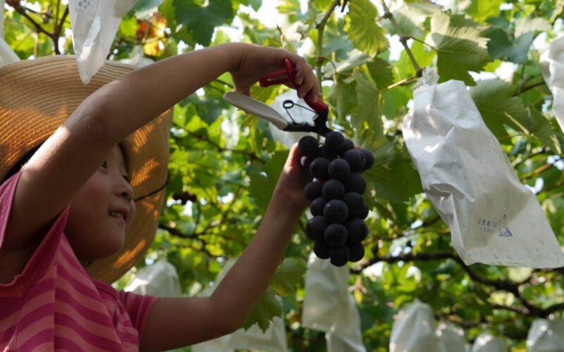 阿信果園及其他觀光果園